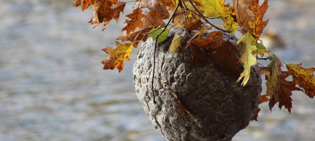 Bald-faced hornet (Dolichovespula maculata) nest suspended above the Shepaug River