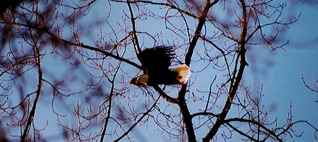 BALD EAGLES back for WINTER