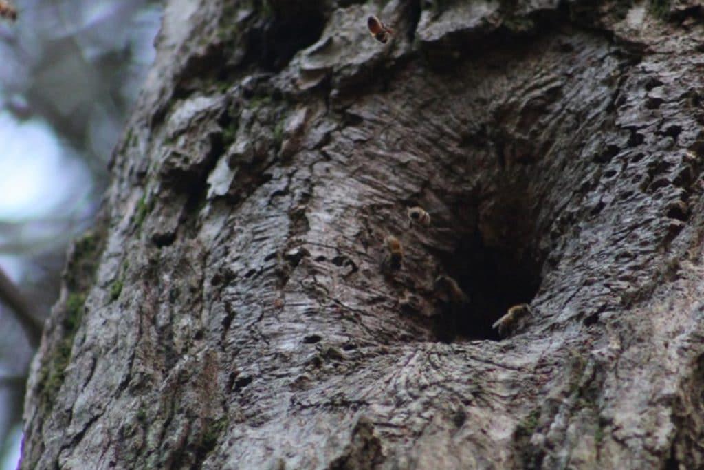 Honeybee (Genus: Apis) hive in an eastern hemlock (Tsuga canadensis)