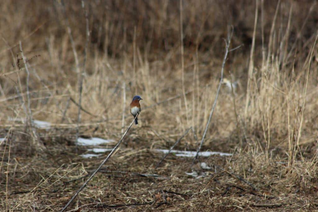 Tree swallow beside the boardwalk at Macricostas Preserve
